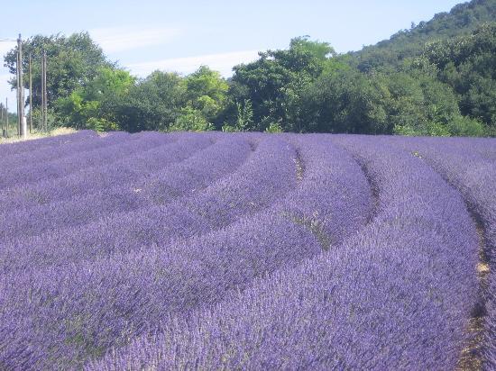 lavender-fields-near
